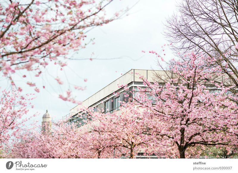 church blossom Spring Beautiful weather Tree Esthetic Kitsch Ornamental cherry Blossoming Cherry blossom Colour photo Multicoloured Exterior shot