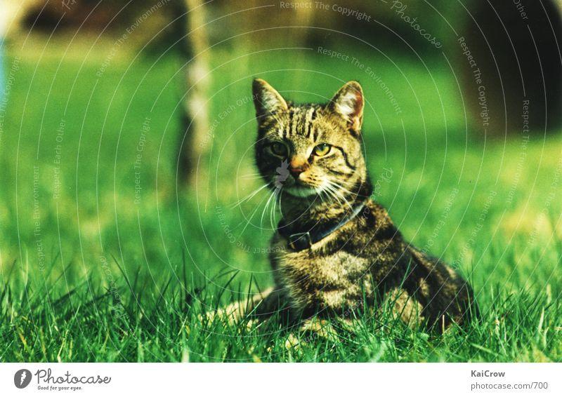 pussycat Cat Domestic cat