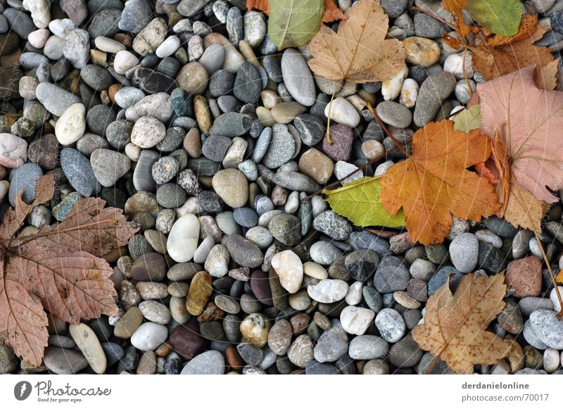 autumn Autumn Leaf Pebble Tree Maple tree Stone Floor covering