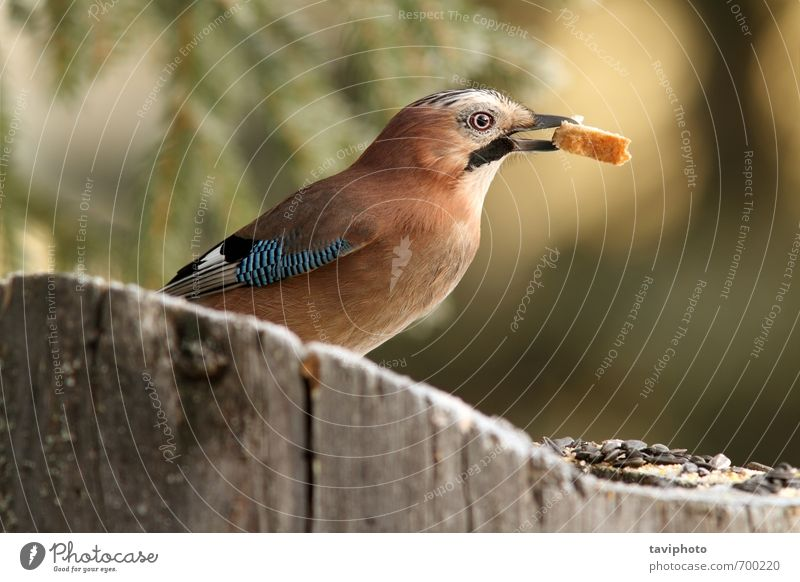 jay eating bread Nature Blue Beautiful Colour White Tree Animal Forest Black Environment Eating Garden Bird Brown Park Wild