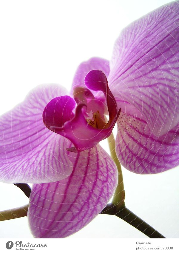 orchid colored 3 Orchid Flower Blossom Plant 2 Fragile Delicate Asia Pink Blossoming questionable Bright Nature