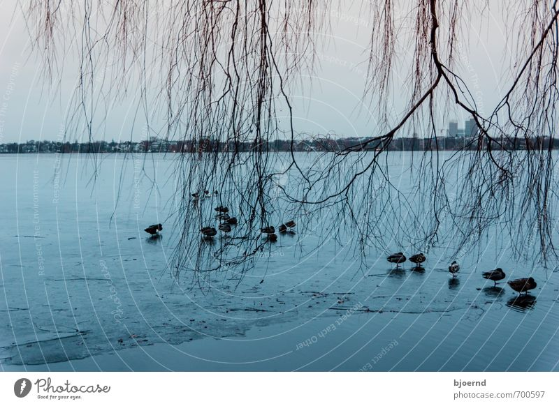 Ice cold ducks Nature Landscape Water Winter Frost Tree River bank Hamburg Alster Animal Bird Duck Group of animals Flock Swimming & Bathing Stand Cold Blue