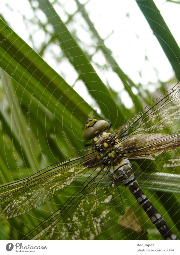 Nature Green Life Grass Freedom Gray Brown Wing Insect Common Reed Pond Thief Motionless Fragile Partially visible Dragonfly
