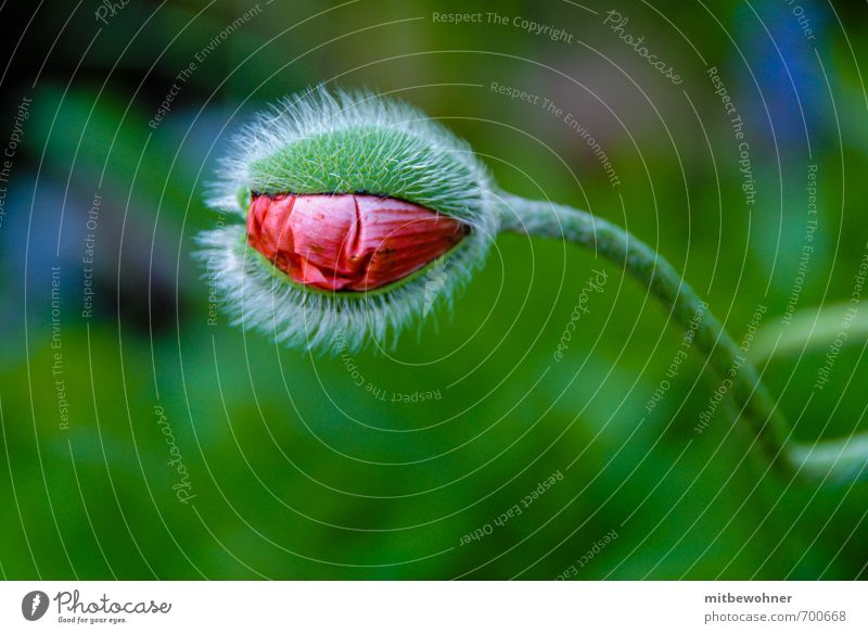A bud opens up Garden Nature Plant Summer Flower Blossom Agricultural crop Wild plant Esthetic Authentic Natural Beautiful Green Red Moody Spring fever Patient