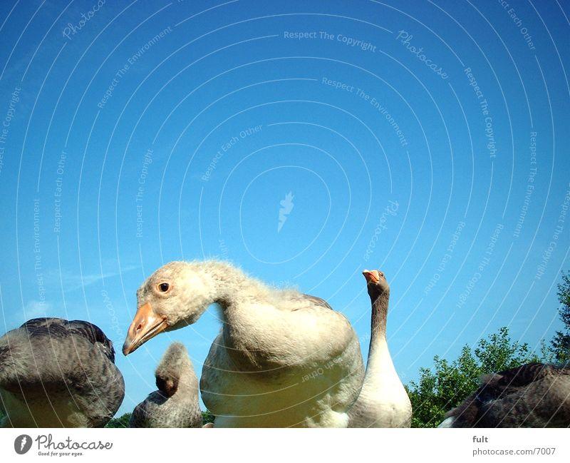 geese Goose Looking