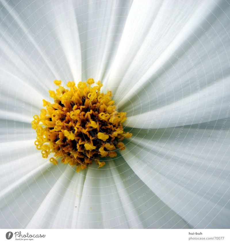 Nature Beautiful White Flower Plant Summer Yellow Blossom Spring Freedom Power Small Elegant Might Delicate Square