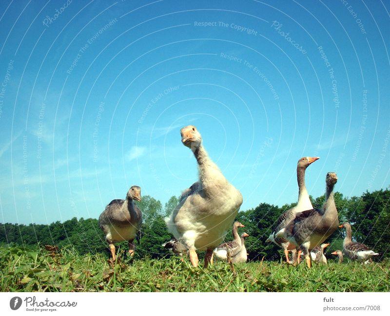 Sky Grass Bird Goose