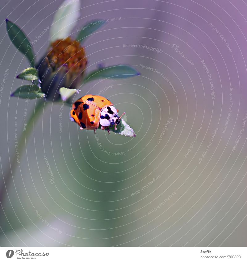 Sunbathing on a leaf in late summer Good luck charm lucky beetle symbol of luck Ladybird Easy Ease Beetle Serene Happy Calm Peaceful Harmonious Mood lighting