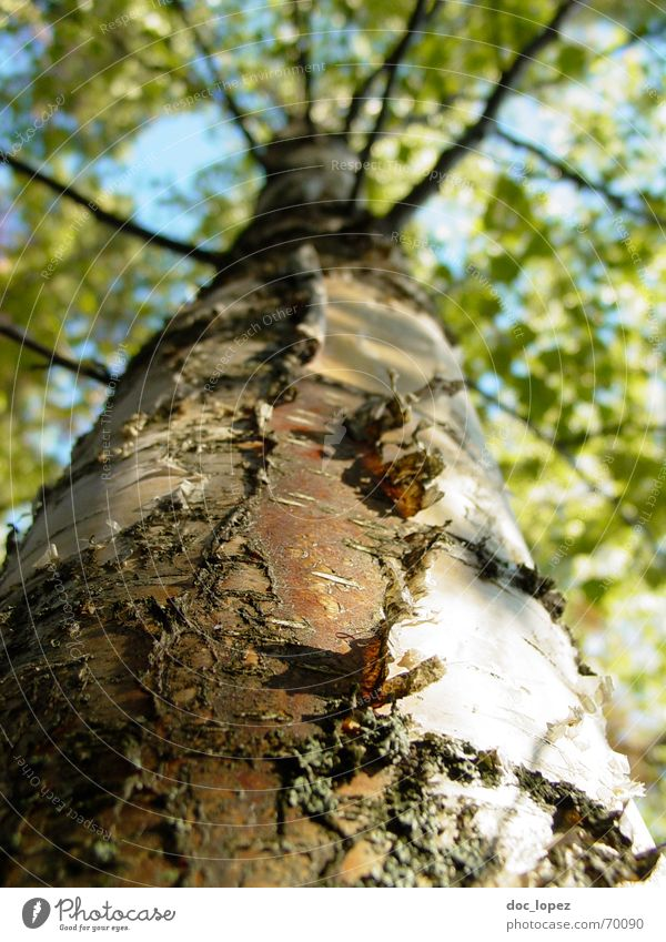 tree look Birch tree Tree Leaf Tree bark White Green Colossus Bark-beetle Forest Infinity Photosynthesis Perspective peep up Branch Structures and shapes Nature