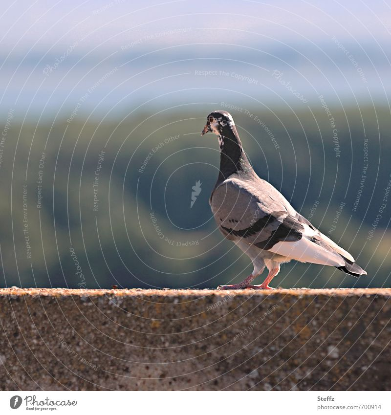 Pigeon with view Environment Nature Landscape Sunlight Summer Beautiful weather Animal Bird Observe Looking Calm Vantage point Traces of fomer wall Review