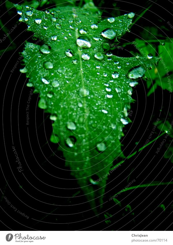 drops Drops of water Leaf Green Dream Wet Nature Wellness Relaxation Calm Virgin forest beads Water Beautiful drip sheet sheets wetness