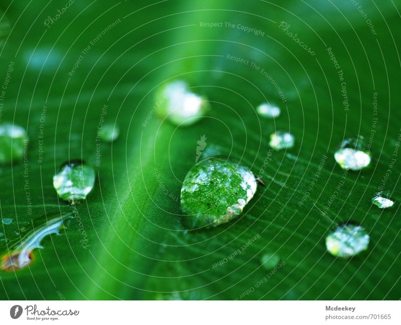 heavenly tears (7) Environment Nature Plant Water Drops of water Summer Beautiful weather Flower Leaf Foliage plant Wild plant Park Authentic Exotic Cold Wet