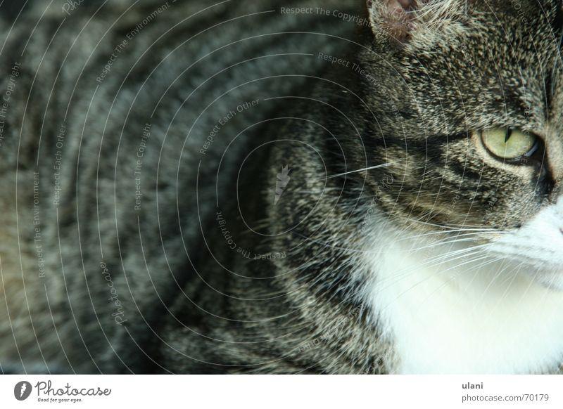 Eyes Animal Gray Cat Pelt Pet Striped Earnest