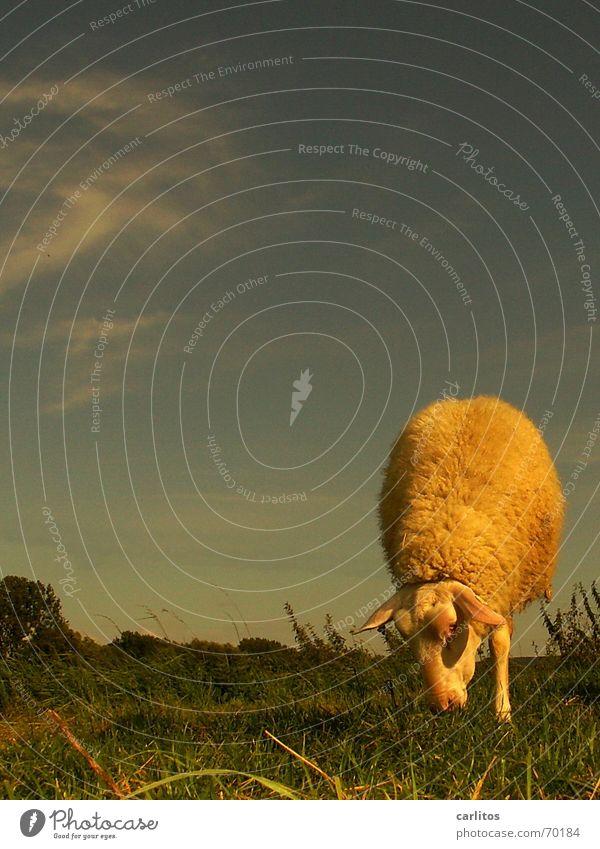 Animal Nutrition Pasture Sheep Gymnastics Circus Talented Handstand Lacaune sheep