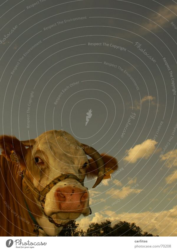 Sky Clouds Animal Agriculture Cow Stupid Antlers Smart Bull Cattle