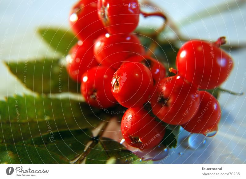 Water Tree Red Plant Sun Leaf Autumn Garden Drops of water Bushes Berries Fruit Rawanberry Rowan tree