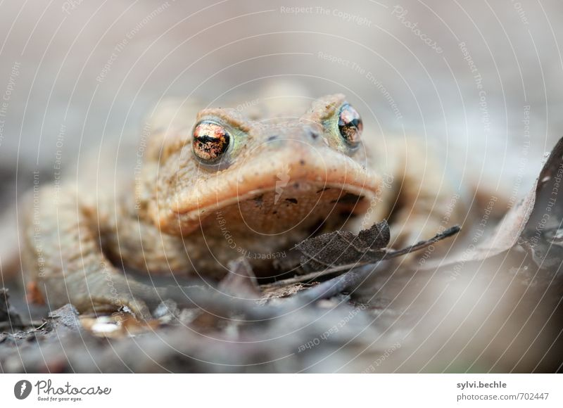 toad Environment Nature Animal Earth Spring Wild animal Frog 1 Observe Sit Wait Disgust Hideous Brown Gray Love of animals Attentive Watchfulness Curiosity