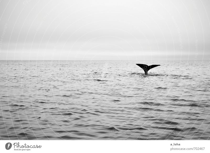 whale rider Environment Nature Animal Elements Water Sky Ocean Wild animal Whale Sperm whale Fin Dive 1 Discover Swimming & Bathing Exceptional Elegant Gigantic