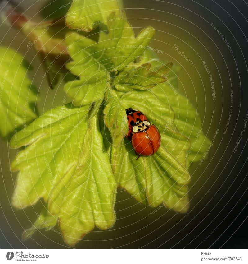 active family planning Nature Animal Leaf Wild animal Beetle Ladybird 2 Love Sex Green Red Together Love of animals Lust Sexuality Propagation