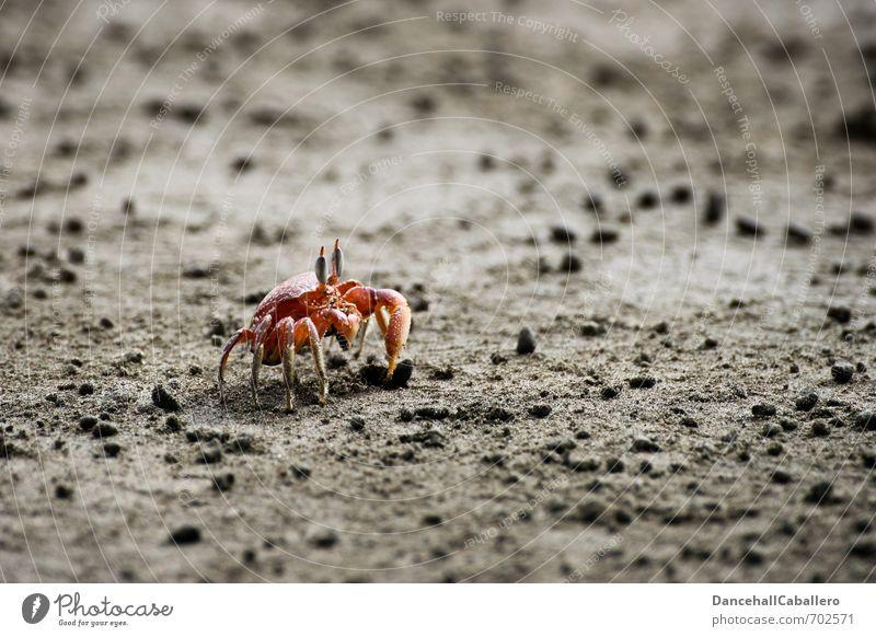 beach crab Vacation & Travel Trip Expedition Summer Beach Ocean Nature Earth Sand Coast Animal Shrimp Shellfish Claw 1 Maritime Red Environment Marine animal
