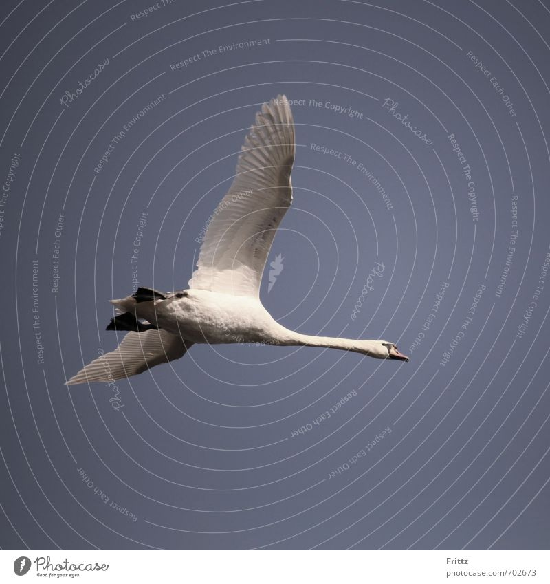 aviator Nature Animal Air Sky Wild animal Bird Swan Wing 1 Flying Above Violet White Mute swan Floating Colour photo Exterior shot Copy Space bottom Day