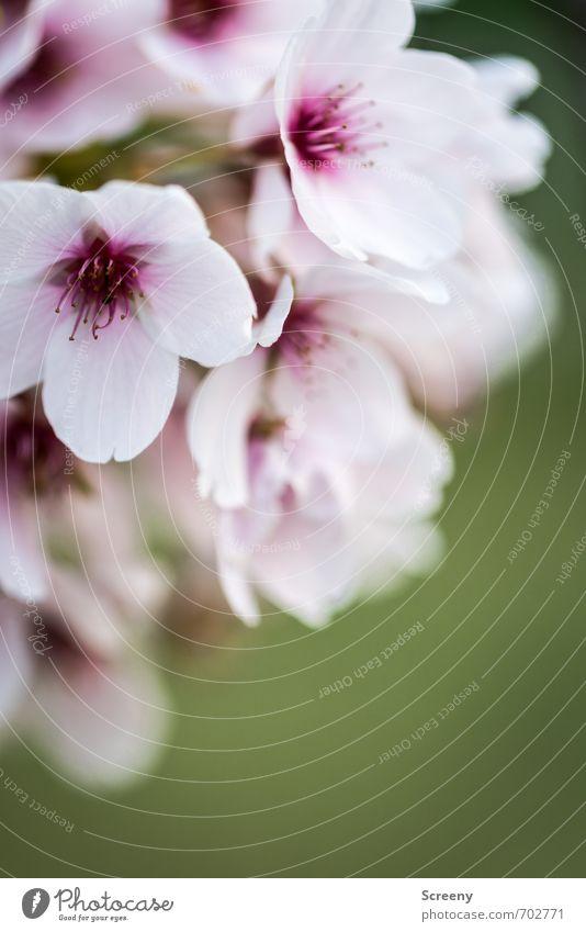 Nature Green White Plant Tree Flower Spring Blossom Park Growth Esthetic Blossoming Violet Delicate Fragrance Spring fever