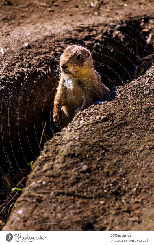 The beginning of spring - the marmot awakens Zoo Environment Nature Spring Summer Autumn Field Animal Wild animal Rodent Marmot Beaver 1 Brown Spring fever