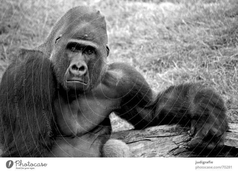 gorilla Masculine Zoo Animal Pelt Sadness Black Grief Distress Aggravation Gorilla Monkeys Mammal Apes Captured Character Black & white photo Looking Forward