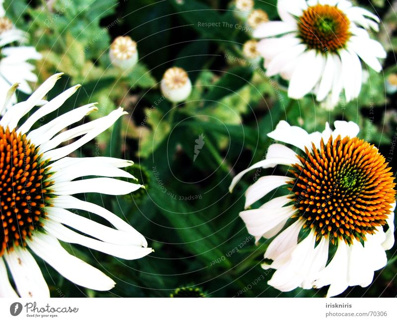 White Flower Green Plant Yellow Blossom Garden Dream Poppy Sunhat