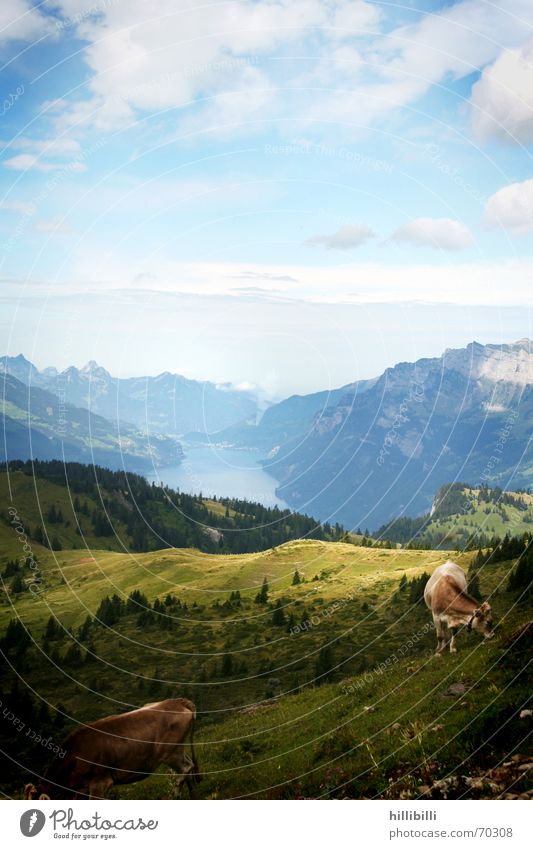 Sky Clouds Meadow Mountain Lake Switzerland Cow Pasture Alpine pasture Walensee