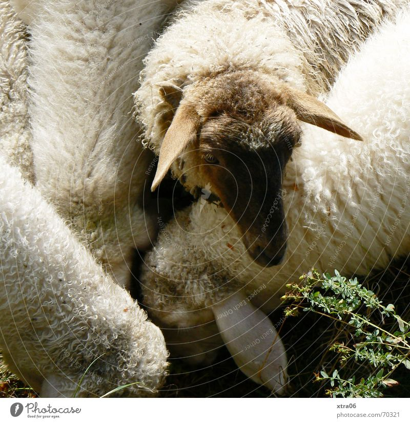 Let me get to it... Sheep Flock To feed Unfair Sweet Cute Peace Soft Pelt Grief Summer Mammal white sheep feeding time Exclude one against all Appetite Smooth