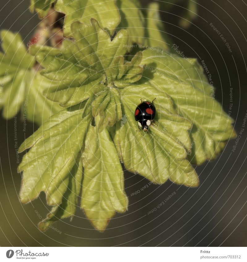...black with red dots ... Nature Plant Animal Leaf Wild plant Wild animal Beetle Ladybird 1 Crawl Small Green Red Black red dotted Colour photo Exterior shot