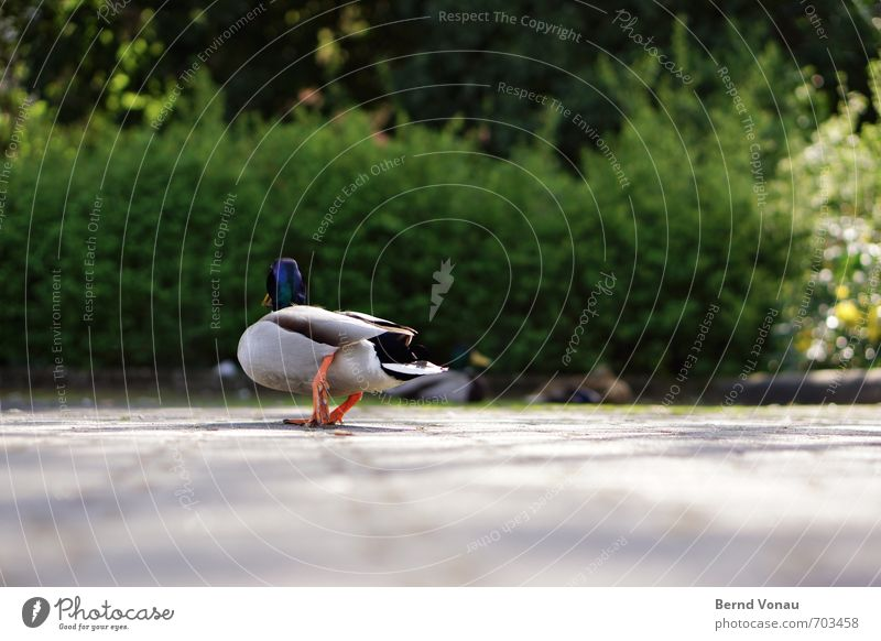 Terrible Duck 3 Animal Bright Blue Gray Green Black White Waddle Poultry Feather Parking lot Block Going Summer Perspective Paving stone Parking space Downtown