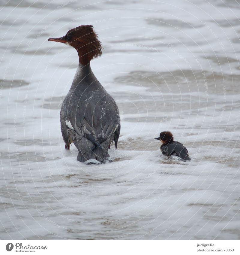 Mother and child 2 Chick Goosander Lake Bird Safety (feeling of) Dangerous Ocean Rough Gale White crest Feather Beak Brown Fatigue Animal Beach
