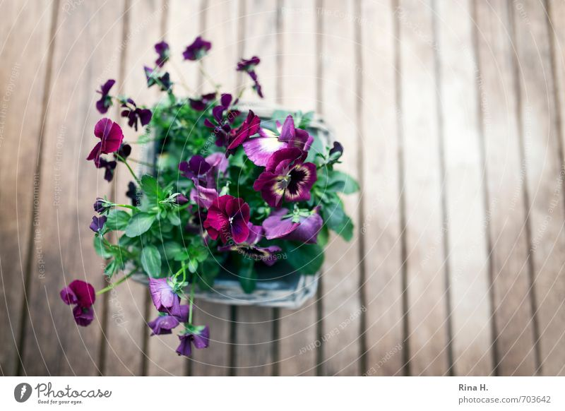 spring Spring Flower Blossoming Joie de vivre (Vitality) Spring fever Violet plants Pansy Wooden table Garden table Colour photo Exterior shot Deserted