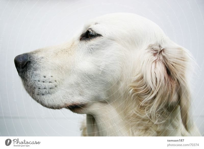 White Dog Pelt Snout Animal Sideways glance