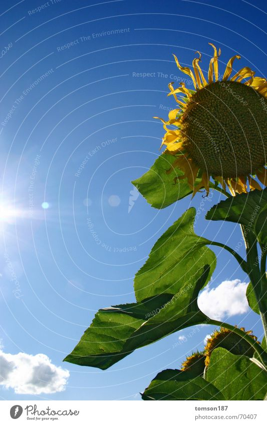 Sun Flower Plant Summer Hope Sunflower New start