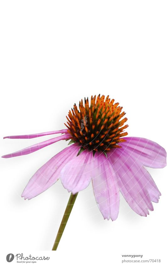 Plant Flower Yellow Blossom Orange Healthy Wind Pink Free Isolated Image Romance Violet Friendliness Stalk Upward Pistil