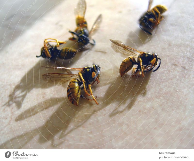 Animal Death Dangerous Sleep Threat Grief Transience Bee Insect Distress Cemetery Pierce Wasps Plagues Sting Bothersome