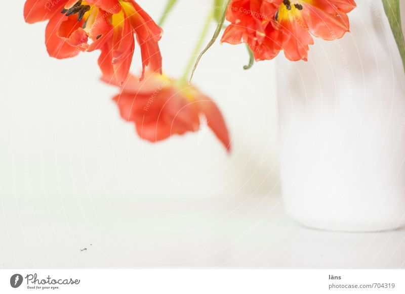 FLOWERING TIME Flower vase Tulip Bouquet Hang Beautiful Red White Decoration Blossoming Interior shot Deserted Copy Space bottom Shallow depth of field