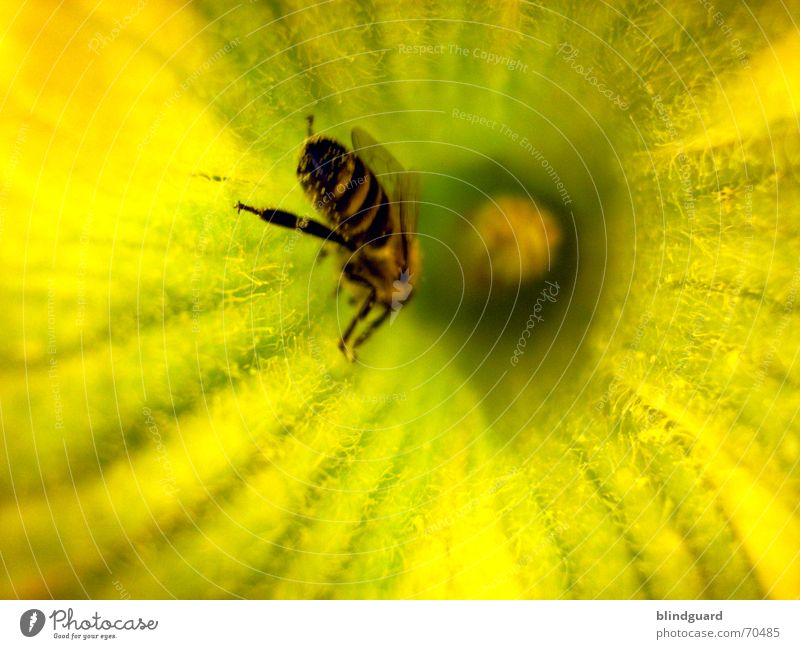 crawling clean Bee Blossom Collection Honey Insect Diligent 6 Yellow Summer Pumpkin Pollen Seed Wing Legs six flower garden Nutrition