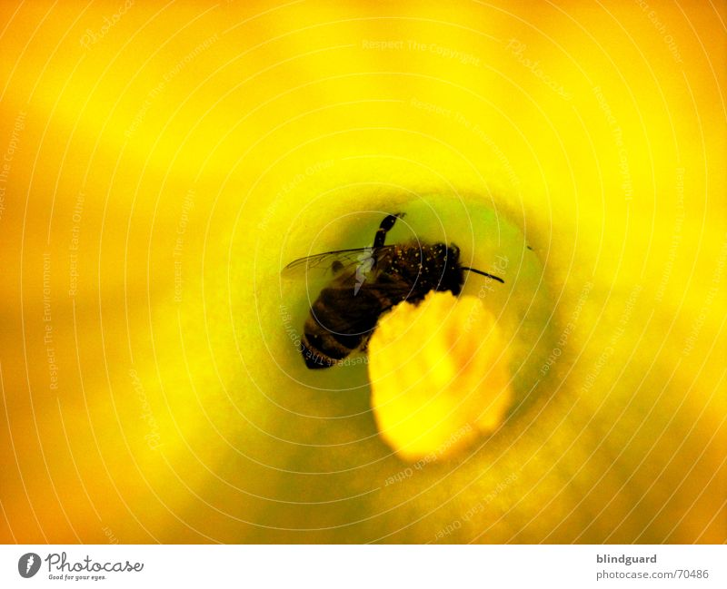 bustle Bee Blossom Collection Honey Insect Diligent 6 Yellow Macro (Extreme close-up) Close-up Pumpkin Pollen Seed Wing Legs six flower garden Nutrition
