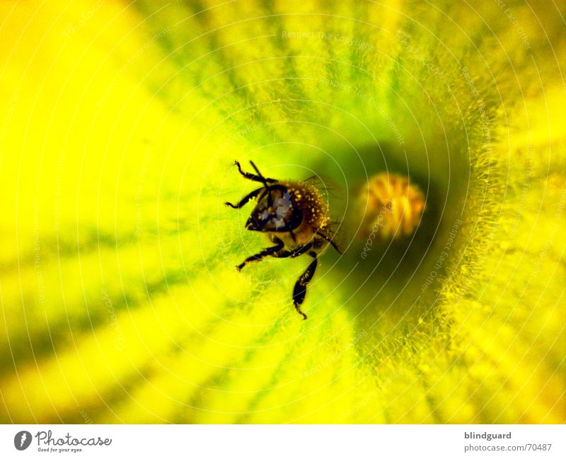 crawling out Bee Blossom Collection Honey Insect Diligent 6 Yellow Summer Pumpkin Pollen Seed Wing Legs six flower garden Nutrition
