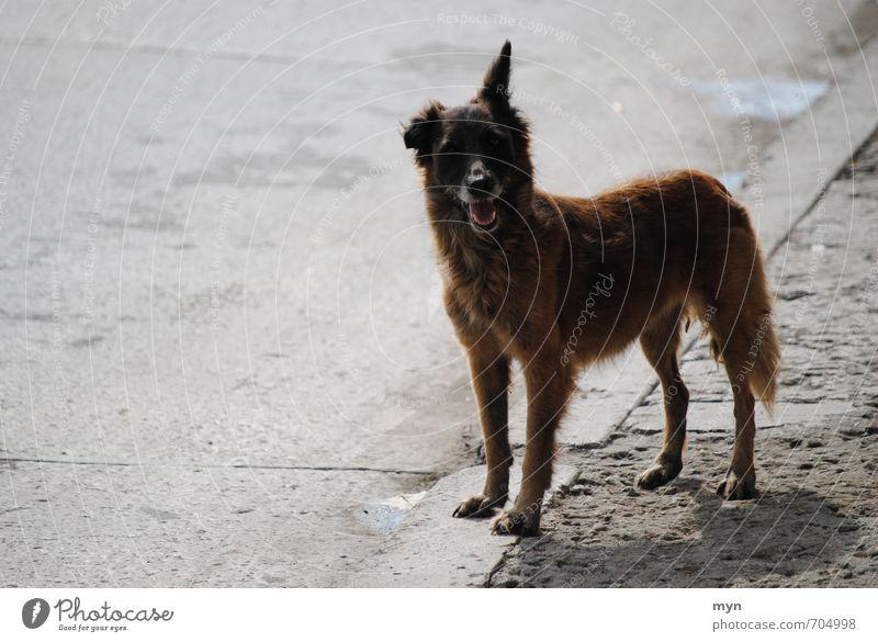 Street dog Havana Animal Pet Dog 1 Brash Cuba Town Caribbean Ear Pointed Friendliness Gray Gloomy Old Shabby Crossbreed Asphalt Puppydog eyes Midday sun Pelt