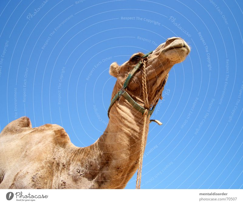 Vacation & Travel Loneliness Animal Life Sand Wind Walking Trip Africa Desert Beach dune Thirst Badlands Camel Near and Middle East Sahara