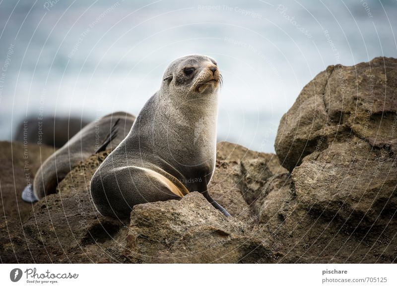 What's up, dude? Nature Animal Observe Looking Watchfulness Seals New Zealand Colour photo Exterior shot Day Shallow depth of field Animal portrait