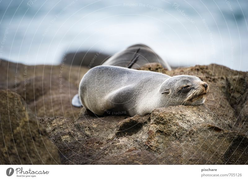 tired Nature Animal Sleep Exotic Fatigue Environment Seals New Zealand Colour photo Exterior shot Day Shallow depth of field Animal portrait