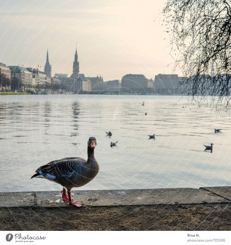 AlsterPoultry Horizon Lakeside Hamburg Wild animal Wild goose 1 Animal Curiosity Skyline Square Colour photo Exterior shot Deserted Copy Space top
