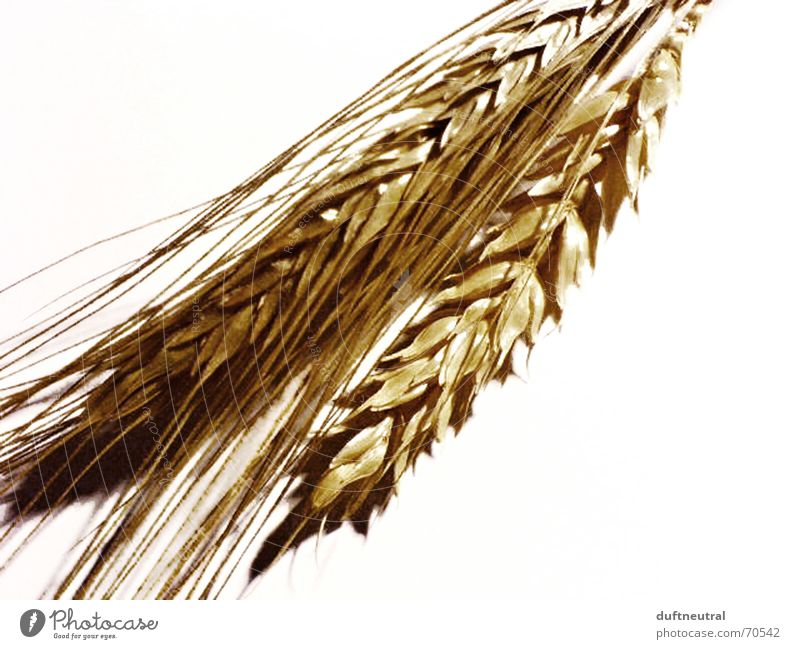 Got the ear! Ear of corn Field Isolated Image Simple White Rye Wheat Blossom Ancient Grain Nature Partially visible New Old