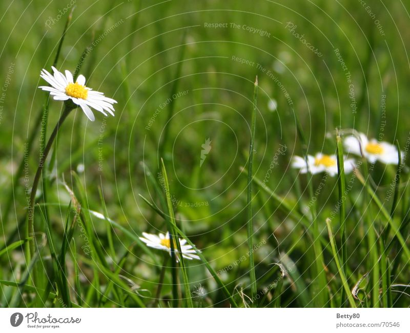 high up Daisy Flower Meadow Green Yellow White Summer Spring Nature Blossoming